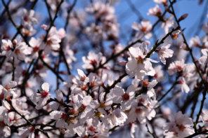 Mandelblüten; Quelle:  Pixabay.com_Uleo